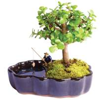 """Brussel's Bonsai Live Dwarf Jade Indoor Bonsai Tree in Zen Reflections Pot-3 Years Old 8"""" to 10"""" Tall,"""