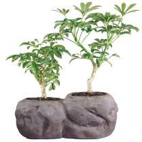 "Brussel's Live Hawaiian Umbrella Indoor Bonsai Tree in Rock Pot (2 Pack) - 5 Years Old; 5"" to 8"" Tall"