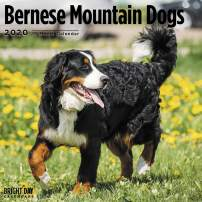 2020 Bernese Mountain Dogs Wall Calendar by Bright Day, 16 Month 12 x 12 Inch, Cute Dogs Puppy Animals Berner Sennenhund Canine