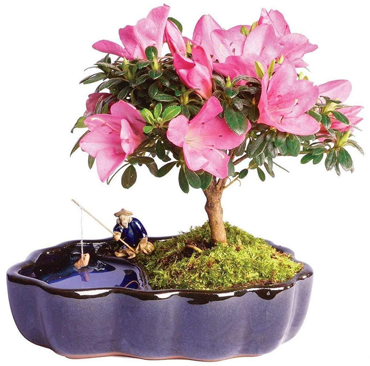 "Brussel's Bonsai Live Satsuki Azalea Outdoor Bonsai Tree in Zen Reflections Pot-4 Years Old 8"" to 10"" Tall,"