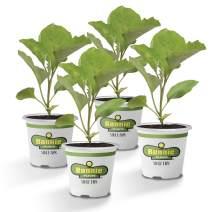 Bonnie Plants 4P2600 Black Beauty Eggplant (4-PACK)