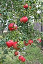 (3 Gallon) Russian Pomegranate Tree, considered The Sweetest of All Pomegranates. Very Cold and Heat Tolerant, Produces Very Sweet red Fruit.