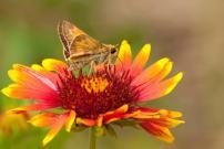 Nature's Seed Blanket Flower Seeds (2 Pack)