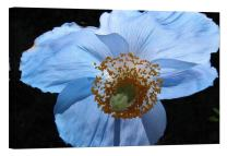 LightFairy Glow in The Dark Canvas Painting - Stretched and Framed Giclee Wall Art Print - Blue Poppy - Master Bedroom Living Room Decor - 6 Hours Glow - 24 x 16 inch
