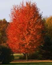 PAPCOOL Autumn Blaze Maple Trẹẹ Lịve Plạnt in A Qt Pot 1-2 Ft Tall