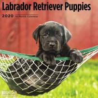2020 Labrador Retriever Puppies Wall Calendar by Bright Day, 16 Month 12 x 12 Inch, Cute Dogs Puppy Animals Lab Canine
