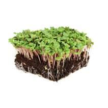 China Rose Radish Sprouting Seeds: 25 Lb - Bulk, Non-GMO Radish Seeds for Micro Greens, Vegetable Garden