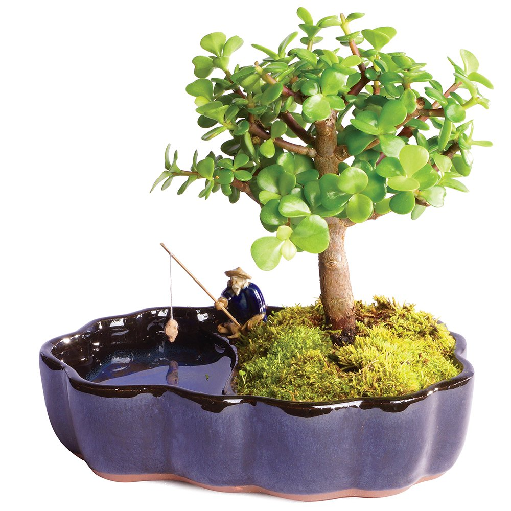 """Brussel's Live Dwarf Jade Indoor Bonsai Tree in Zen Reflections Pot - 3 Years Old; 8"""" to 10"""" Tall"""