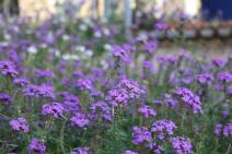 Nature's Seed Moss Verbena Seeds (5 Pack)
