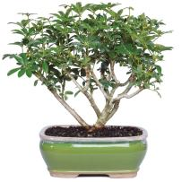 "Brussel's Live Hawaiian Umbrella Indoor Bonsai Tree - 3 Years Old; 7"" to 10"" Tall with Decorative Container"