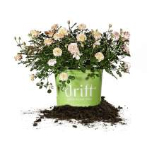 Perfect Plants Apricot Drift Rose Live Plant, 3 Gallon, Includes Care Guide