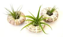 9GreenBox - Air Plant Tillandsia Bromeliads 3 Gift Set with Sea Urchin Holiday Live Plant Ornament Decor for Home, Kitchen, Office, Table, Desk - Attracts Zen,- Non-GMO, Grown in the USA