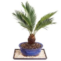 """Brussel's Live Sago Palm Indoor Bonsai Tree - 8 Years Old; 8"""" to 12"""" Tall with Decorative Container, Humidity Tray & Deco Rock"""