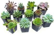 Succulent Plants (12 Pack) Fully Rooted in Planter Pots with Soil   Real Live Potted Succulents / Unique Indoor Cactus Decor by Plants for Pets