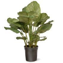 National Tree 30 Inch Garden Accents Green Calathea Plant in Black Pot (GACP30-30G)