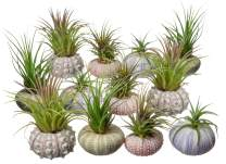 Nautical Crush Trading Urchin Air Plant Assortment   Varieties of Sea Urchins with Tillandsia Gift Set TM (12 Pack)