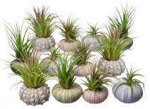 Nautical Crush Trading Urchin Air Plant Assortment | Varieties of Sea Urchins with Tillandsia Gift Set TM (12 Pack)