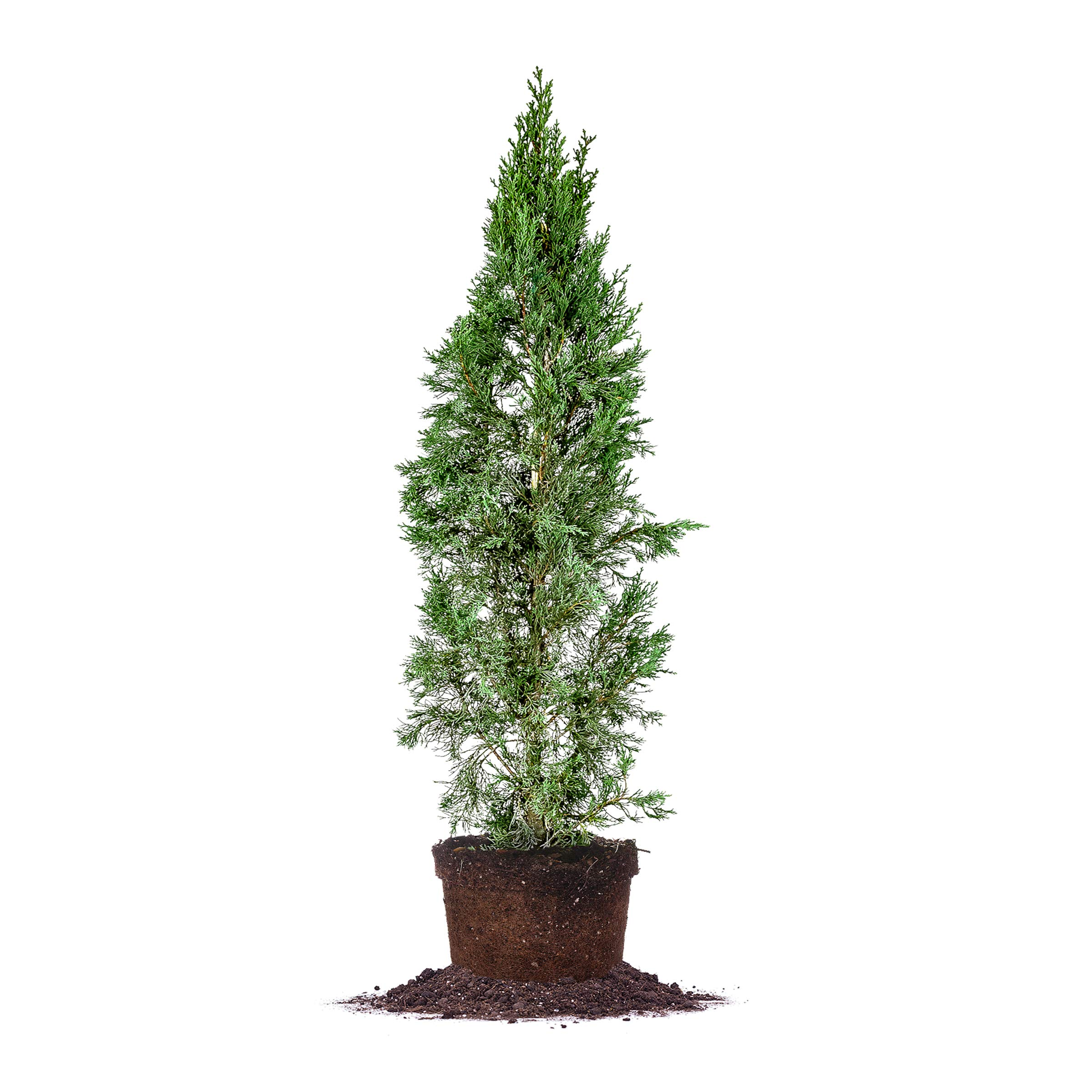 Perfect Plants Italian Cypress Live Plant, 4-5', Includes Care Guide