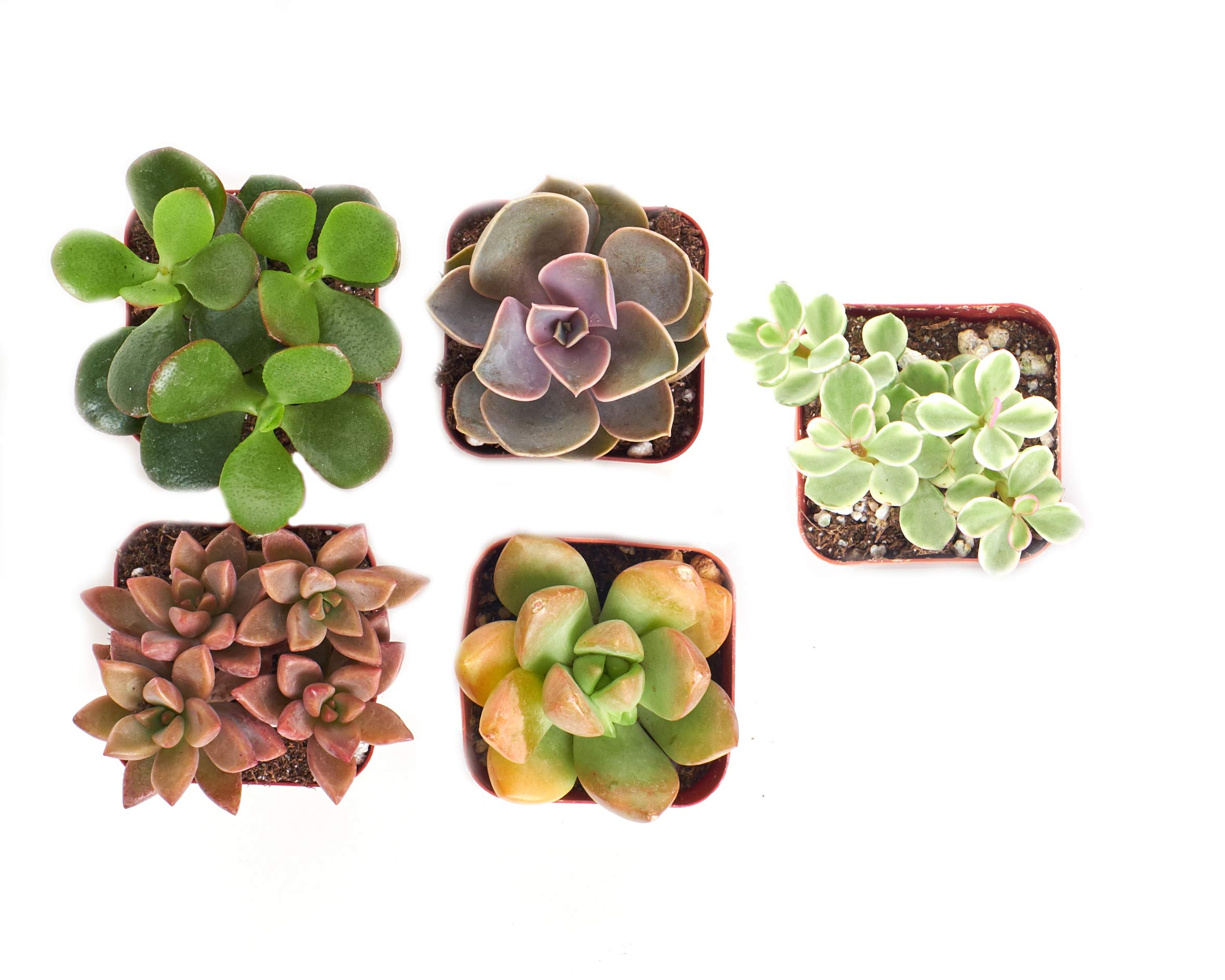 Shop Succulents Gardener's Collection of Live | Hand Selected for Health, Size | Mini 5