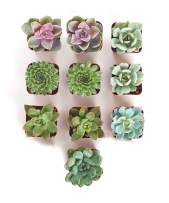 Shop Succulents Radiant Rosette Collection of Live | Hand Selected for Health, Size | Pack of Succulents, 10