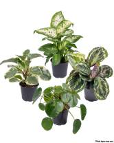 Seville Farms 4 Pack House Plant, Pint, Green
