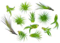 12 Air Plant Variety Pack - Small Tillandsia Terrarium Kit - Assorted Species of Live Tillandsia Tropical House Plants for Sale, 2 to 5 Inches Each - Air Plants for Indoor Home Decor