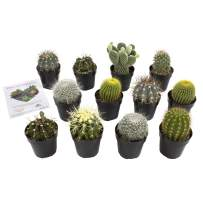 Altman Plants Assorted Live Cactus Collection mini real cacti for planters or gifts, 2.5 Inch,12 Pack