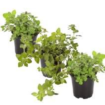 "The Three Company Aromatic and Edible 4.5"" Live Oregano (3 Per Pack), Energizes and Rejuvenates, Extraordinary Health Benefits"