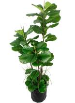"""GARDEN COUTURE Deluxe 66"""" Premium Fiddle Leaf FIG Artificial Tree + Fiddle Leaf and Tropical Grass Foliage in 8"""" Base + 12"""" Plant Pot Skirt."""