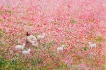 """Yongsung Kim - Shepherd's Rest Painting - Jesus Resting With His Flock - 5"""" x 7"""" Print from HavenLight"""