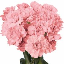 GlobalRose Pink Carnations - 200 Fresh Cut Flowers- Express Delivery