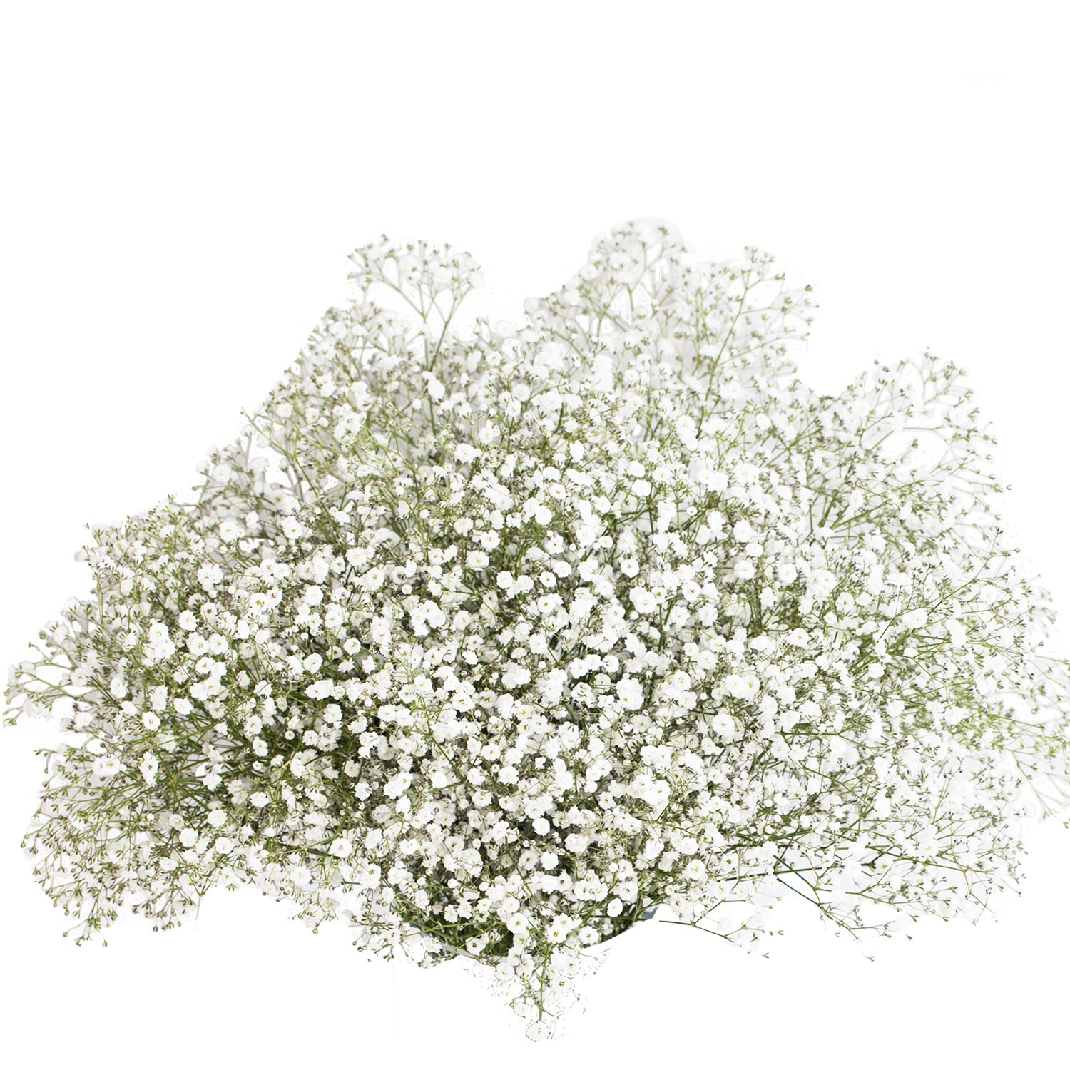 GlobalRose 120 Stems of Fresh Cut Gypso Perfecta Fillers - Baby's Breath Fillers - Fresh Flowers Wholesale Express Delivery Friday May 29