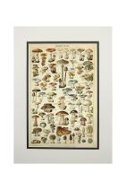 Mushrooms - C - Vintage Bookplate - Adolphe Millot Artwork (11x14 Double-Matted Art Print, Wall Decor Ready to Frame)