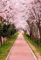 AOFOTO 5x7ft Flower Tree Backdrop Spring Cherry Blossoms Photography Background Girl Lovers Woman Lady Adult Artistic Portrait Park Path Photo Shoot Studio Props Video Drop Wallpaper Drape