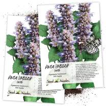 Seed Needs, Anise Hyssop (Agastache foeniculum) Twin Pack of 500 Seeds Each Non-GMO