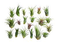 20 pc Air Plant Ionantha Tillandsia Lot - Wholesale Tillandsias - Live Tropical House Plants for Terrariums, Home Decor, Fairy Gardens