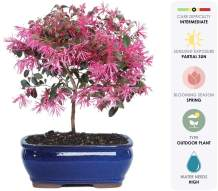"Brussel's Live Fringe Flower Outdoor Bonsai Tree - 3 Years Old; 8"" to 12"" Tall with Decorative Container"