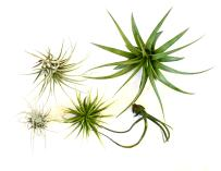 9GreenBox - Air Plant - 5 Set Live Plant Ornament Decor for Home, Kitchen, Office, Table, Desk - Attracts Zen, Luck, Good Fortune - Non-GMO, Grown in The USA