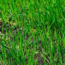 No-Till Winter Rye Seeds - 25 Lbs Bulk - Non-GMO Rye Grain Cover Crop Seeds