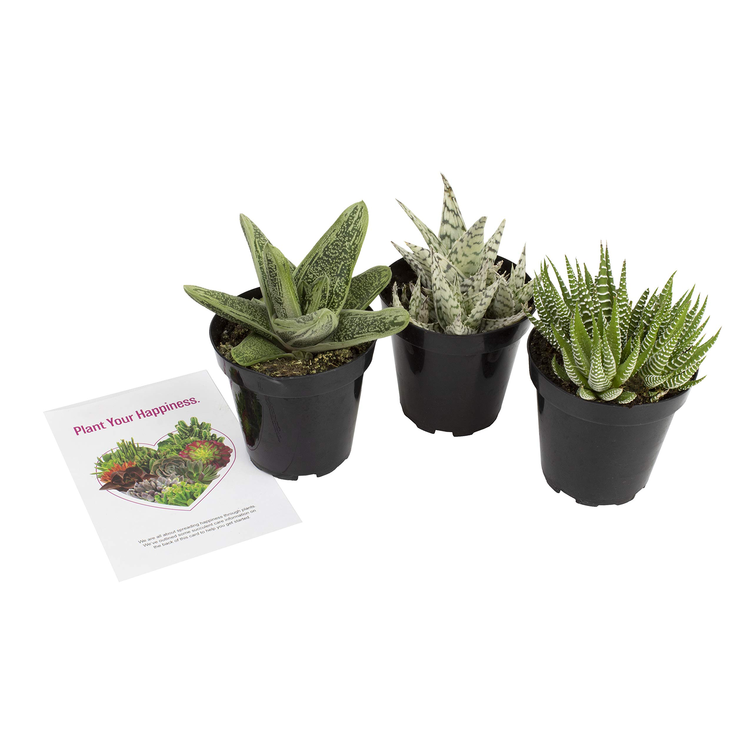 """Altman Plants Assorted Live Succulents Desk Buddy Collection Easy care plants for Indoor, Office, Kitchen, 3.5"""", 3 Pack"""