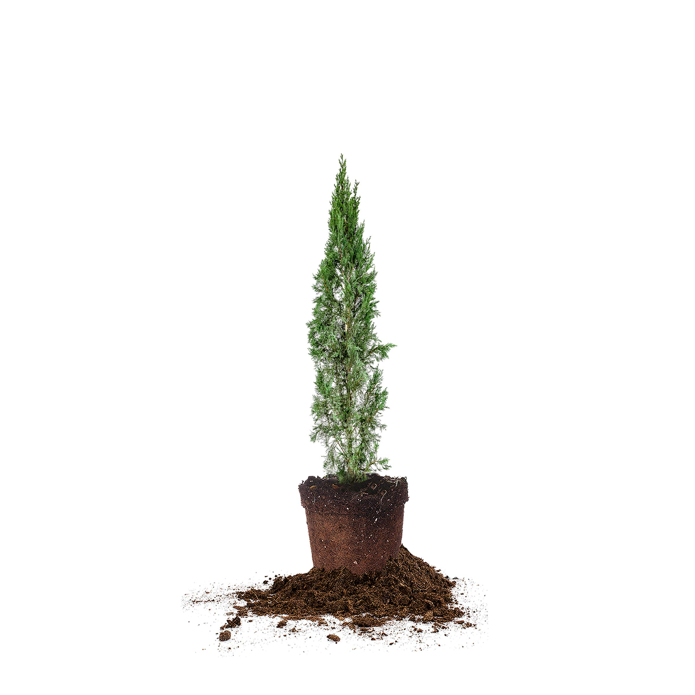 Perfect Plants Italian Cypress Live Plant, 2-3', Includes Care Guide