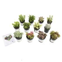 """Altman Plants Assorted Live Succulents Fairy Garden Collection Colorful mini plants for DIY terrariums, 2.5"""", 12 Pack"""