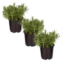 """The Three Company Live Lavender Herb (3 Per Pack) Aromatic and Edible Plant, Improves Sleep and Relaxation, 4.5"""" Pot"""