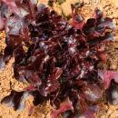 Leaf Lettuce Garden Seeds - Salad Bowl Red - 4 Oz ~100,000 Seeds - Non-GMO, Heirloom Vegetable Gardening & Salad Microgreens Seed