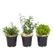 """The Three Company Air Purifying Live Aromatic 4.5"""" Herb Combo (Eucalyptus, Lavender, Rosemary), 4"""" Pot, Breathe Easier"""