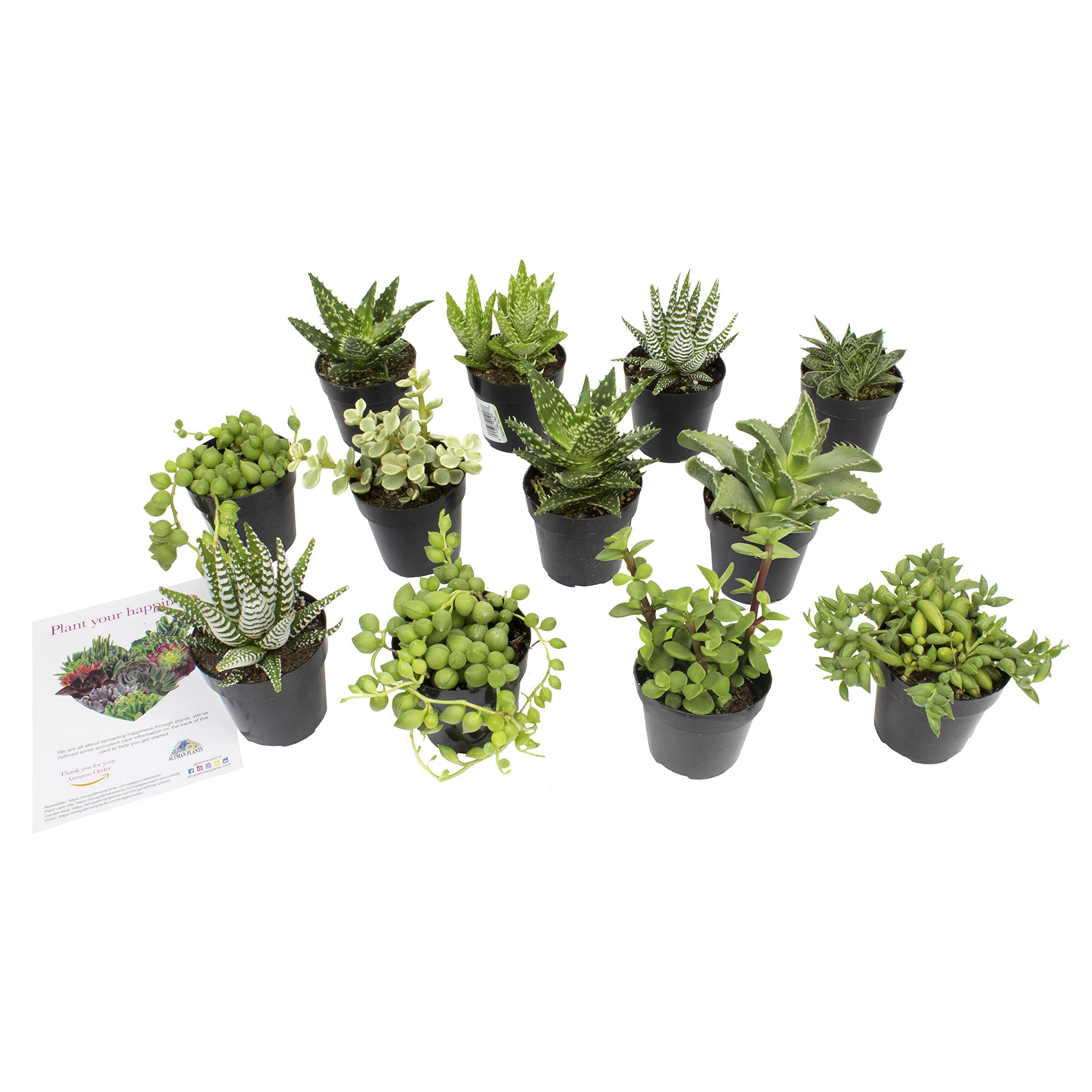 """Altman Plants Assorted Live Succulents Desk Buddy Collection Easy care plants for Indoor, Office, Kitchen, 2.5"""", 12 Pack"""