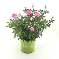 Rose Double Pink Knockout in 2 Gallon pot (Pink)