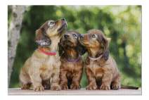 Three Adorable Dachshund Puppies 9022644 (Premium 1000 Piece Jigsaw Puzzle for Adults, 19x27, Made in USA!)