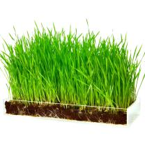 Organic Wheatgrass Growing Kit with Style – Plant an Amazing Wheat Grass Home Garden, Juice Healthy Shots, Great for Pets, Cats, Dogs. Complete with Stunning Tray and Accessories. Great Gift.