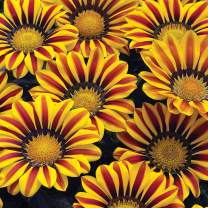 Exotic Gazania Flower Seeds - 100+ Seeds to Grow - Made in USA, Ships from Iowa - Great with Marigold or Roses. Gazinga Seeds